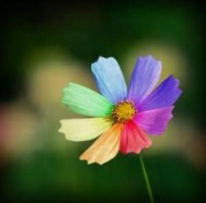 fiore arcobaleno
